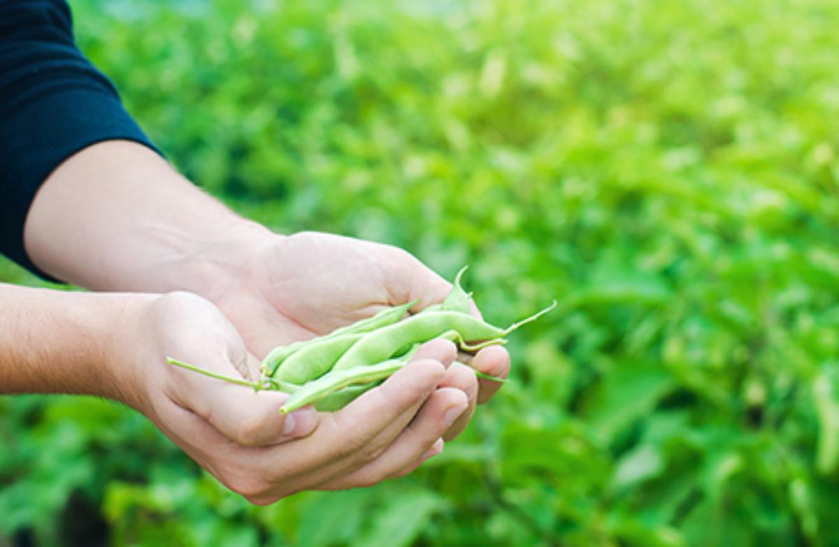 Pea starch & protein